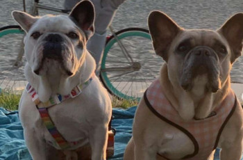 ლედი გაგას ძაღლების გატაცებისთვის 5 ადამიანი დააკავეს
